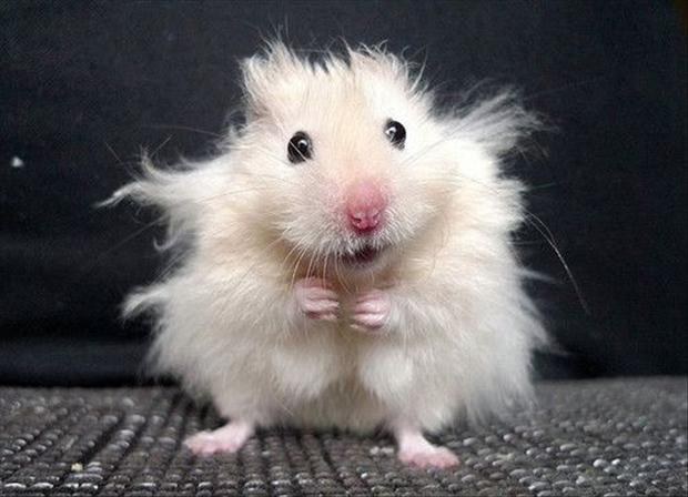 einstein hamster