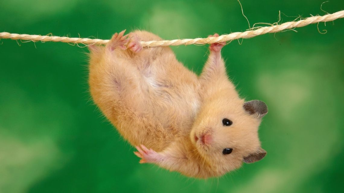 Cute Hamster Animal Desktop Wallpaper
