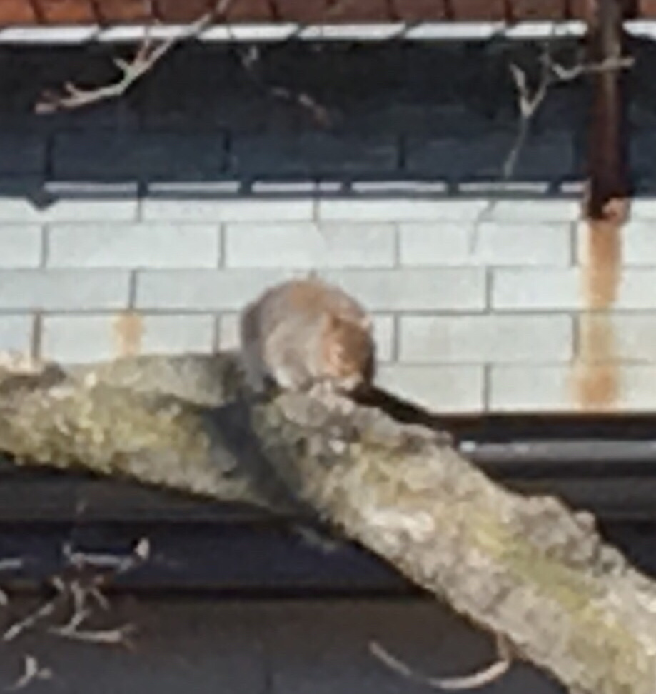 squirrel dozing 1